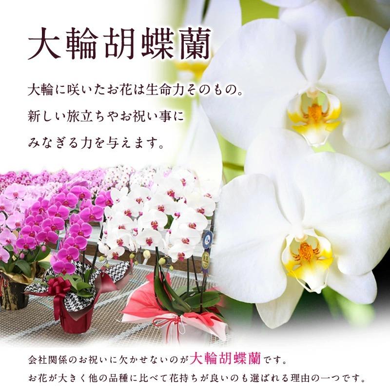 大輪胡蝶蘭